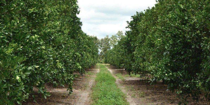 Plantación de Naranjas en Venta en Florida EEUU