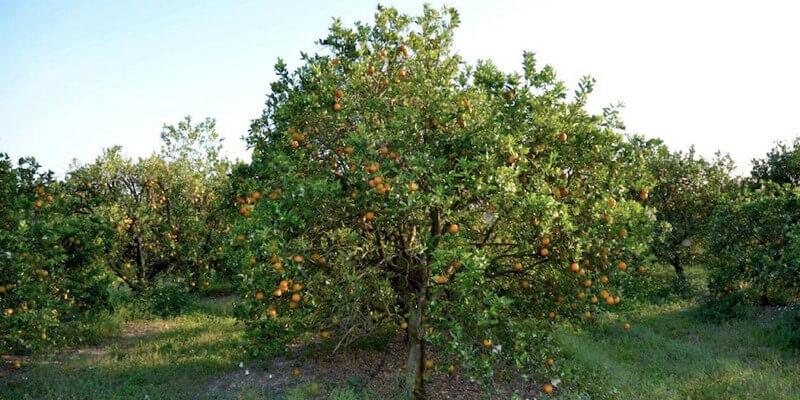 29 Acre Florida Citrus Grove For Sale