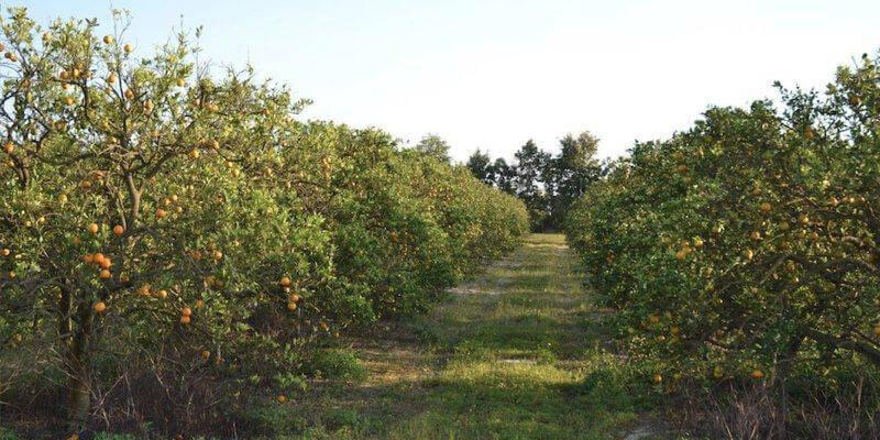 Plantação de Laranjas à Venda na Florida EUA
