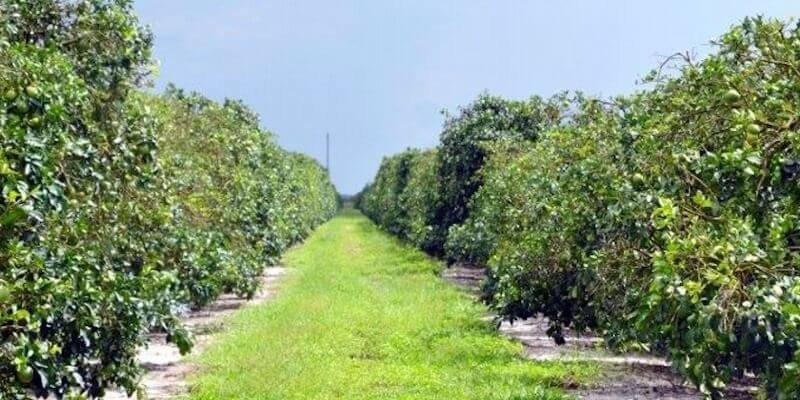 248 Acre Florida Citrus Grove For Sale Vero Beach