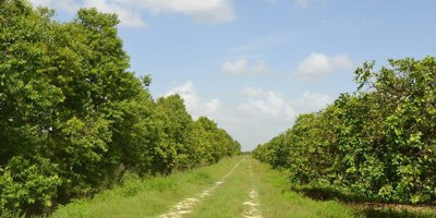 114 Acre Florida Citrus Grove For Sale