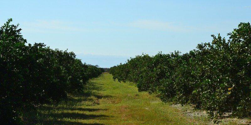 plantación de cítricos en venta en florida eeuu