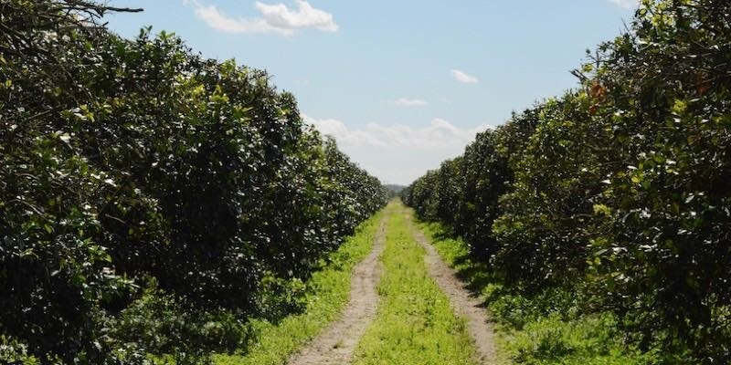915 Acre Florida Citrus Grove For Sale