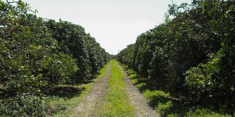Campo Naranjas en Venta Florida EEUU