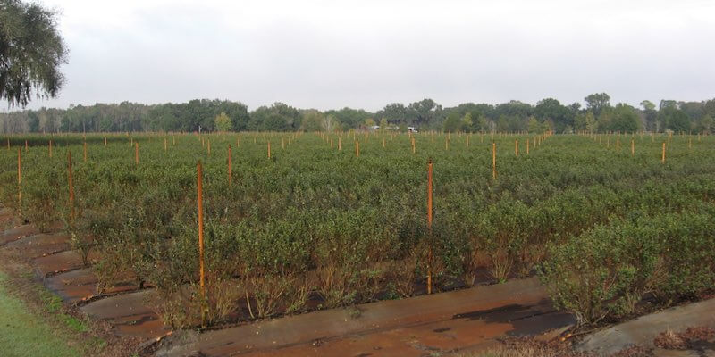 Florida Blueberry Farm Վաճառք
