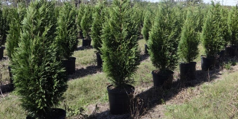 Cypress Tree Farm For Sale Florida