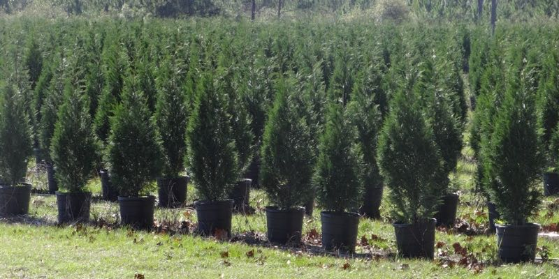 Leyland Cypress Tree Farm For Sale