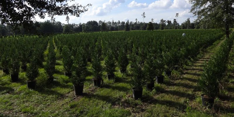 Cypress Tree Farm For Sale United States