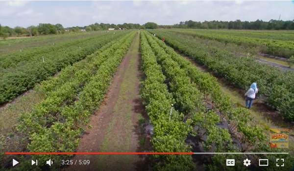 Florida Blueberries Youtube Video