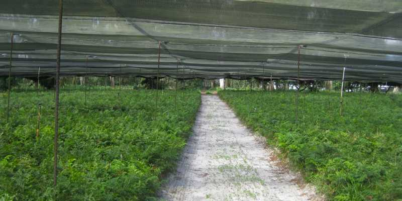 leatherleaf fern nursery for sale