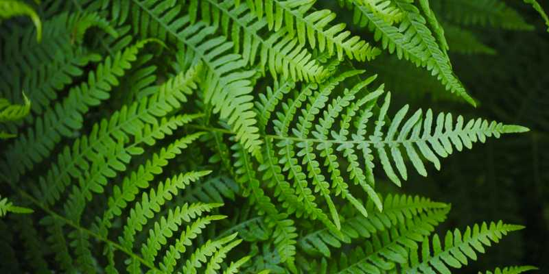 leatherleaf fern nursery for sale in usa