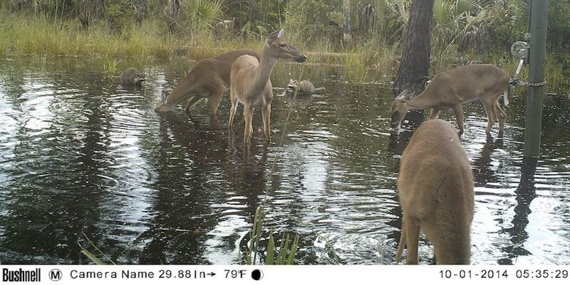 Florida Deer and Raccoon