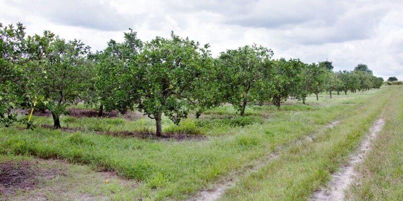 Plantação de laranja à venda na florida eua