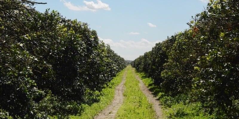 915 Acre Florida Citrus Grove For Sale