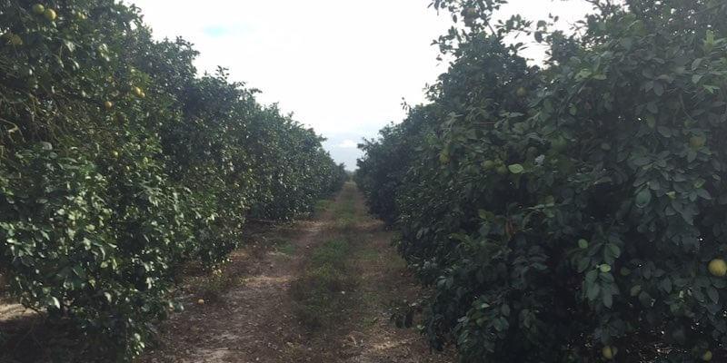 Orangenhain zu verkaufen Florida USA