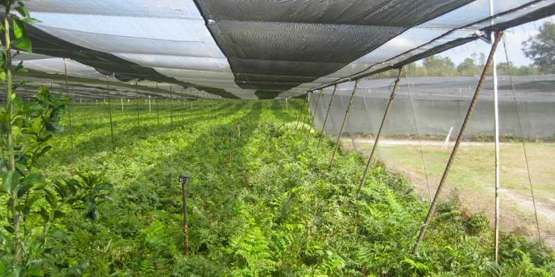 fern nursery for sale in florida
