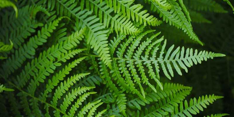 leatherleaf fern nursery for sale in usa
