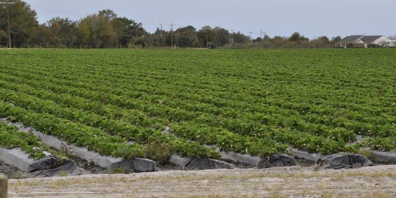 fazenda de morangos à venda na florida eua