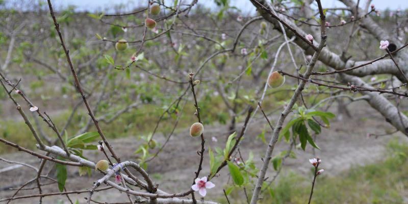 peach farm for sale in america