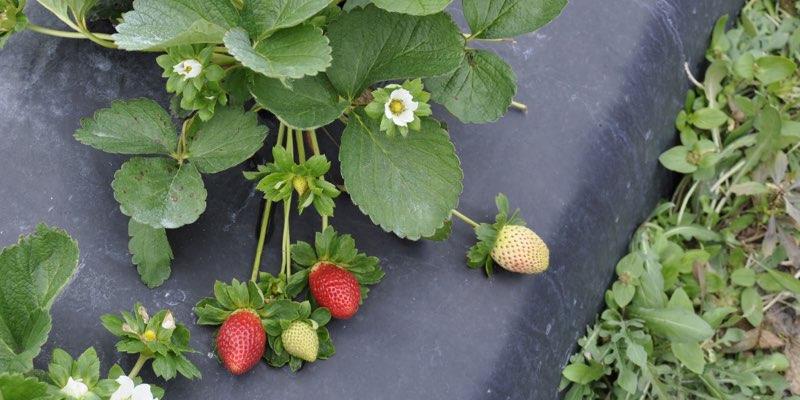 مزرعة الفراولة للبيع في الولايات المتحدة الأمريكية