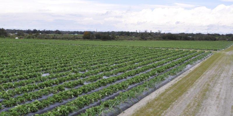 Флорида полуниця ферми на продаж